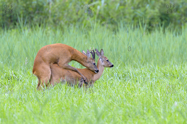 Western roe deers (Capreolus capreolus) mating in grassy field in Hesse, Germany