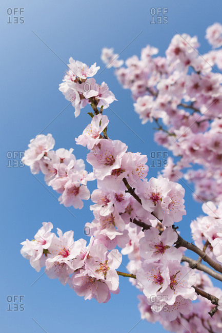 Close-up of pink almond blossom branches in spring against a sunny, blue sky in Germany