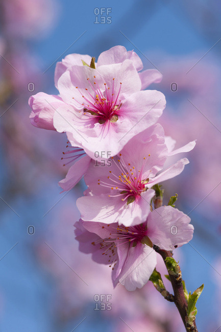 Close-up of a branch of pink almond blossoms in spring on a sunny day in Germany