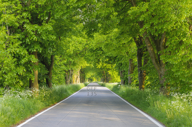 Dappled sunlight on lane lined with lime trees in spring on the Island of Ruegen, Mecklenburg-Western Pommerania, Germany