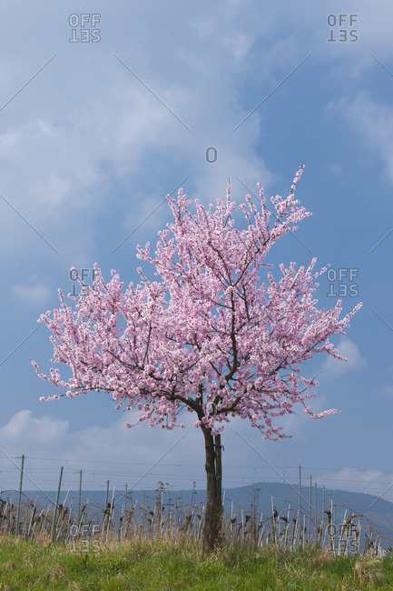Almond tree with pink blossoms in spring, Germany