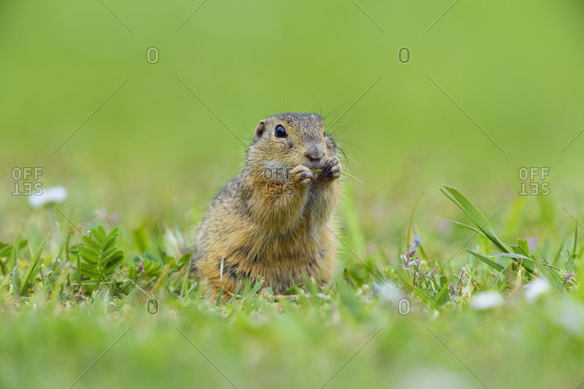 European ground squirrel (Spermophilus citellus) sitting in field eating plants in Burgenland, Austria