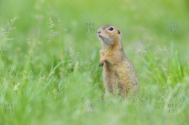 Portrait of European ground squirrel (Spermophilus citellus) standing on hind legs in field in Burgenland, Austria