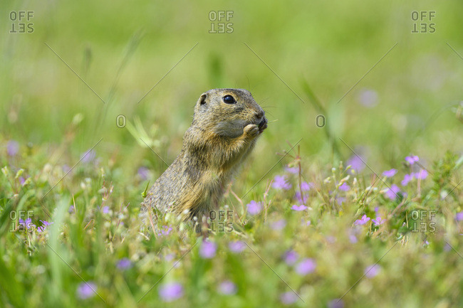 Close-up of European ground squirrel (Spermophilus citellus) standing on hind legs eating plants in field in Burgenland, Austria