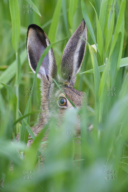 Close-up portrait of a European brown hare (Lepus europaeus) looking at camera through a grain field in spring in Burgenland, Austria