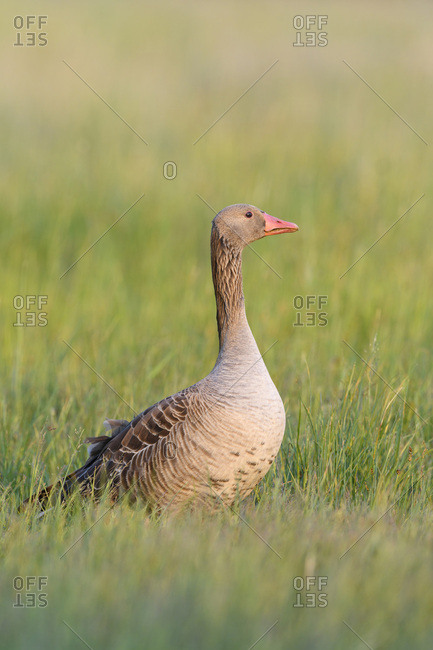 Profile portrait of a greylag goose (Anser anser) standing in a grassy field at Lake Neusiedl in Burgenland, Austria