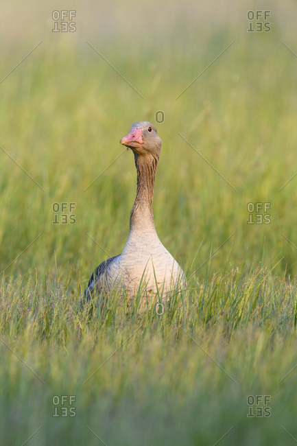 Front view portrait of a greylag goose (Anser anser) standing in a grassy field at Lake Neusiedl in Burgenland, Austria