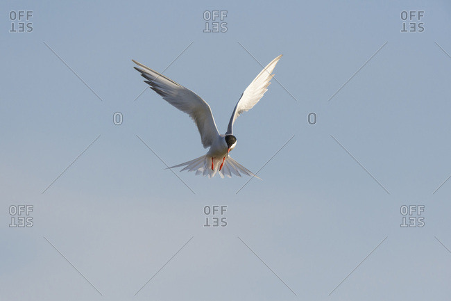Front view of a common tern (Sterna hirundo) in flight against a blue sky at Lake Neusiedl in Burgenland, Austria