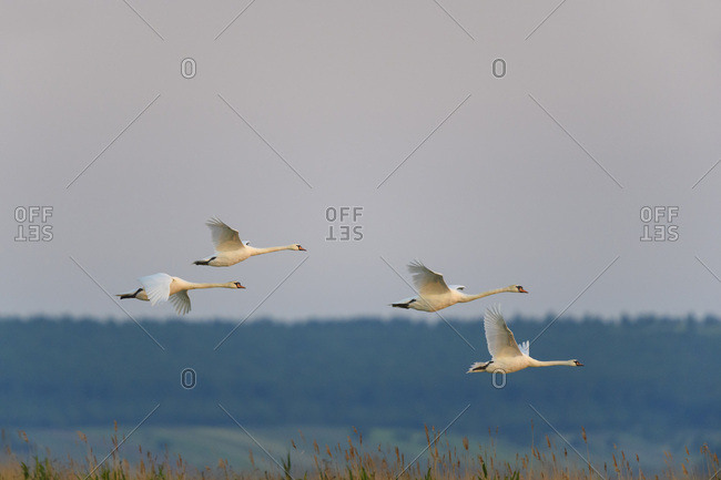 Group of four mute swans (Cygnus olor) in flight over Lake Neusiedl in Burgenland, Austria