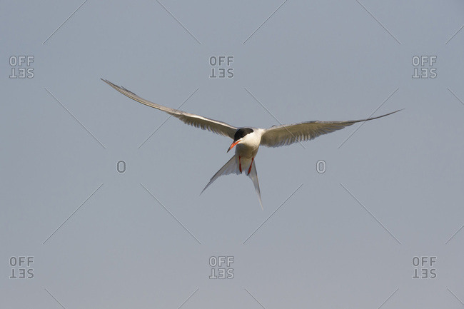 Front view of a common tern (Sterna hirundo) in flight, sunlit against a grey sky over Lake Neusiedl in Burgenland, Austria