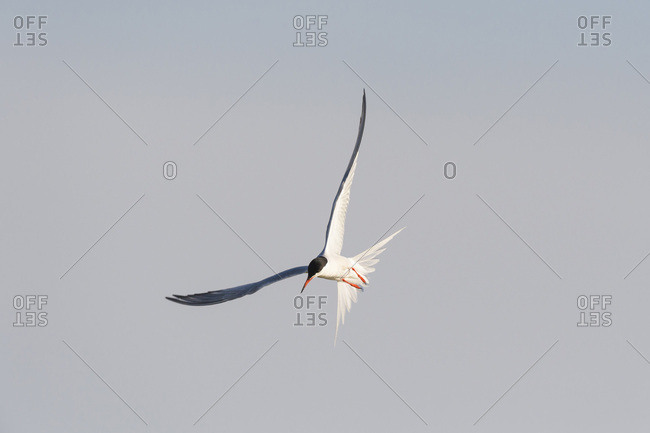 Common tern (Sterna hirundo) in flight, sunlit against a grey sky at Lake Neusiedl in Burgenland, Austria