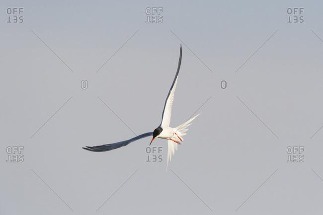 Common tern (Sterna hirundo) in flight, sunlit against a grey sky at Lake Neusiedl in Burgenland, Austria