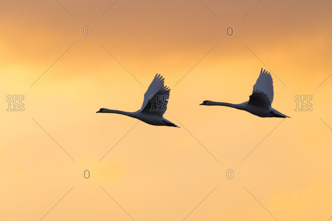 Two mute swans (Cygnus olor) flying in sky at sunset, Germany