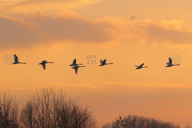 Flock of flying mute swans (Cygnus olor) silhouetted against the sky at sunset, Hesse, Germany