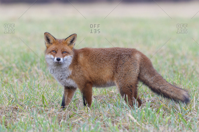 Close-up portrait of alert red fox (Vulpes vulpes) standing in a meadow and looking at camera in Hesse, Germany