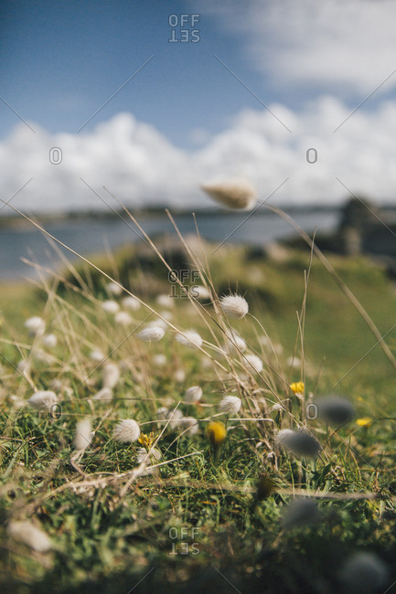 France- Brittany- Landeda- grasses on a field