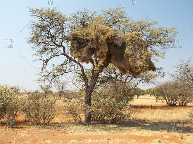 Africa- Namibia- community nest of weaver birds