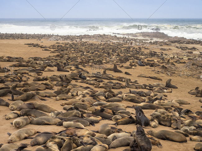 Africa- Namibia- Cape Cross Seal Reserve- colony of cape fur seal