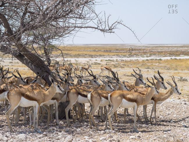 Africa- Namibia- Etosha National Park- group of springboks under tree in shadow