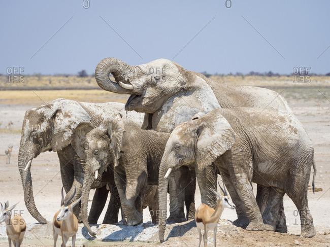 Africa- Namibia- Etosha National Park- Elephants at waterhole- Loxodonta africana