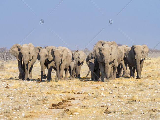 Africa- Namibia- Etosha National Park- Herd of elephants- Loxodonta africana
