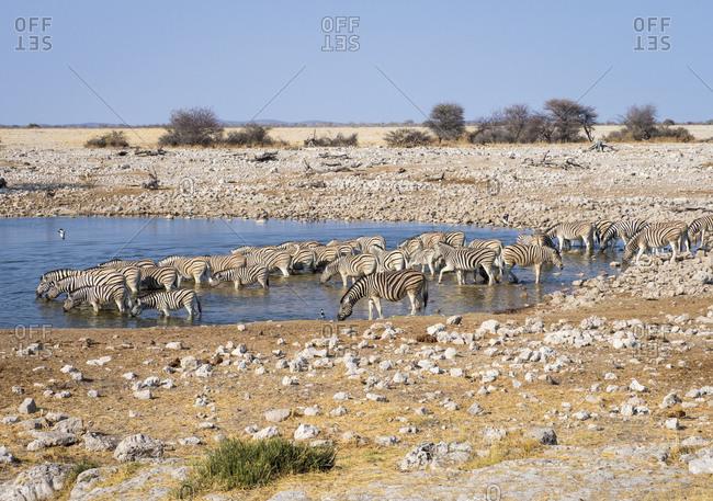 Africa- Namibia- Etosha National Park- plains zebras at waterhole- Equus quagga