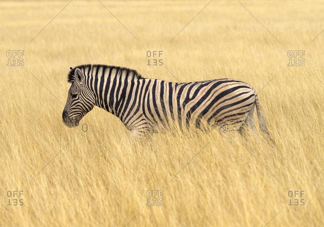 Africa- Namibia- Etosha National Park- plains zebra in tall grass- Equus quagga