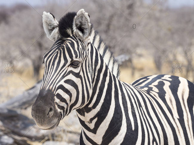 Africa- Namibia- Etosha National Park- Portrait of plain zebra- Equus quagga