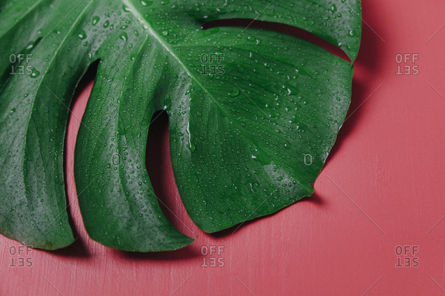 Monstera leaf on pink background- Monstera deliciosa