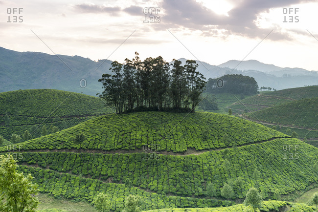 Tea Plantation in rural Kerala, India