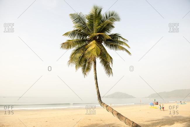 A bent palm tree on Palolem Beach, Goa, India
