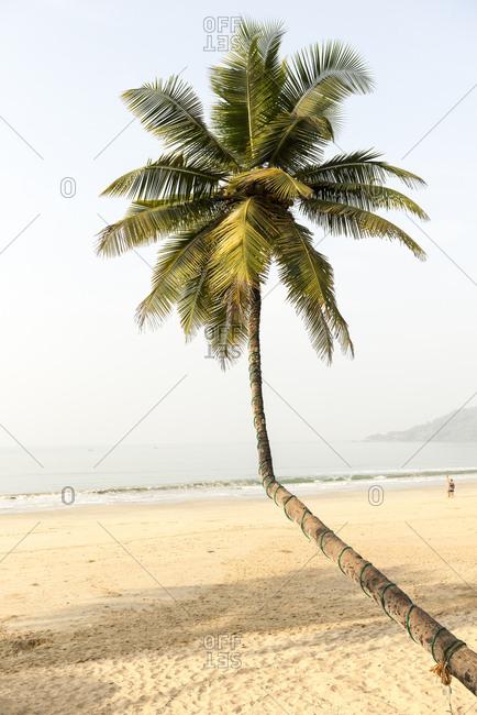 Bent palm tree on Palolem Beach, Goa, India
