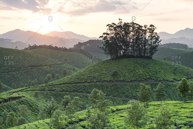 Tea Plantation at sunrise, Kerala, India