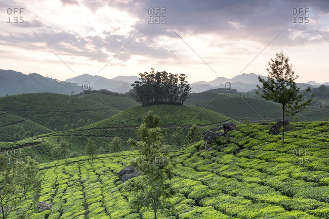 Tea Plantation at sunrise in Kerala, India