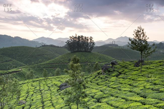 Tea Plantation at sunrise in Kerala, India
