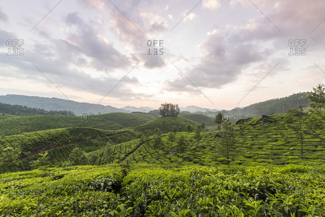 Tea Plantation in Kerala, India