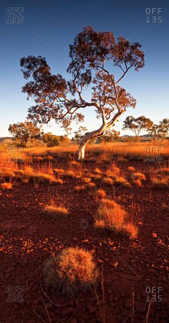 Trees in the Karijini National Park, Pilbara, Australia