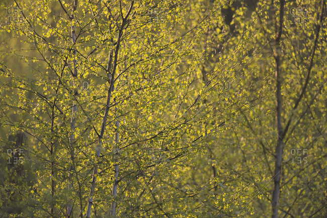 Close-up of fresh spring leaves of birch trees backlit by morning sun