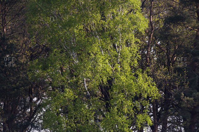 Fresh leaves in birch tree during spring in morning sunlight
