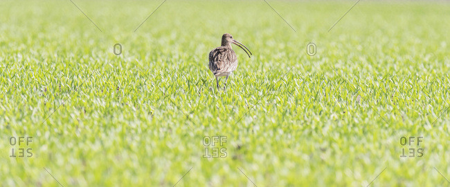 Eurasian curlew (Numenius arquata) grazing in farmland during spring