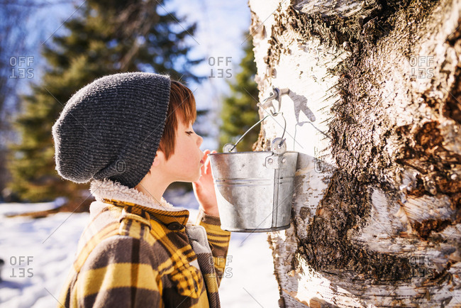 Young boy looking into bucket on a tree for syrup