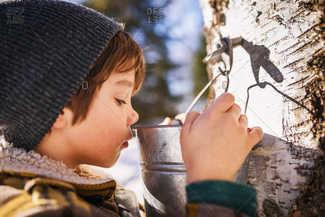 Young boy looking into bucket of sap on a tree