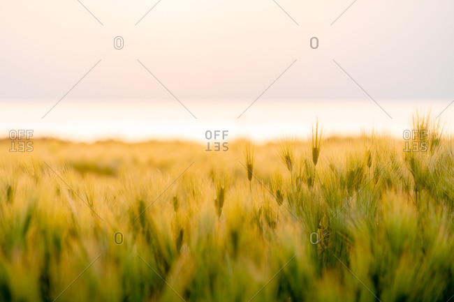 Golden barley stalks, Jejune Island, Korea