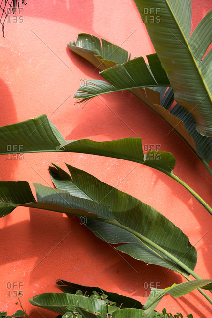 Banana leaves against red exterior wall of building