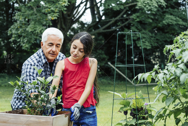 Grandfather and granddaughter planting herb garden