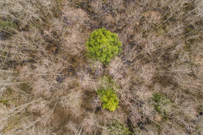 Aerial view of trees in swamp area around Lake Prastvike, Estonia