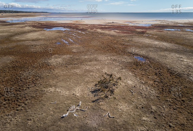 Aerial view of animal skeleton on the beach on beautiful island of Vormsi, Estonia