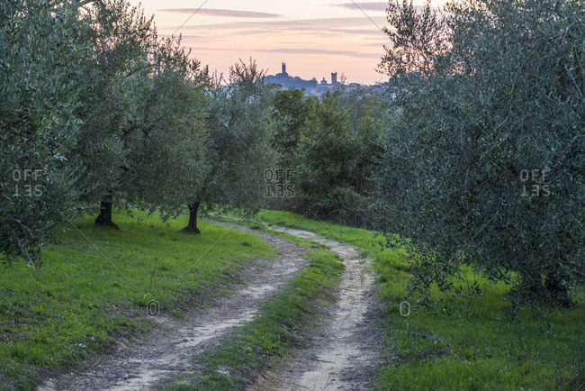 Olive grove and San Miniato village at sunset, Tuscany, Italy
