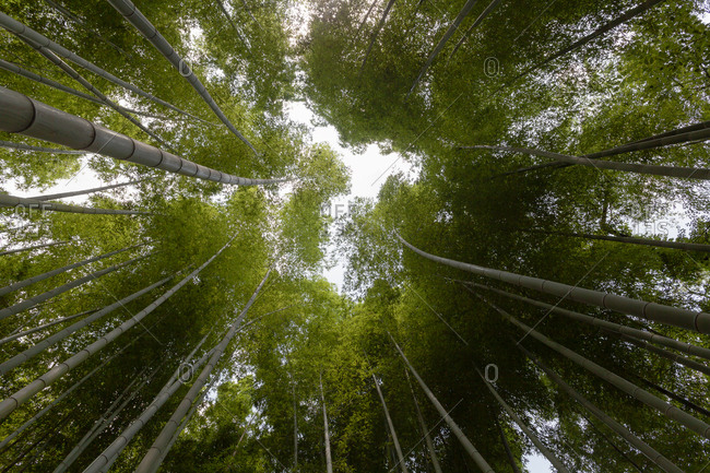 Arashiyama bamboo grove is one of Kyoto's top and most photographed sights in the city, Japan