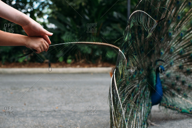 Children's hands touching the feathers of a peacock